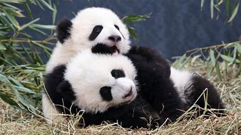 Events in Calgary: Pandas Coming to the Calgary Zoo