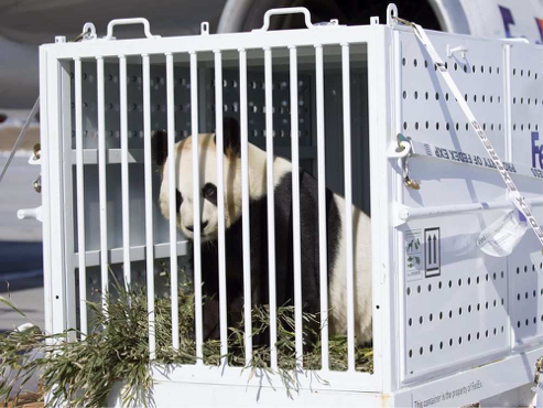 The Pandas have landed at the Calgary Zoo